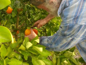 Mike Picking the first Homegrown Honeybells