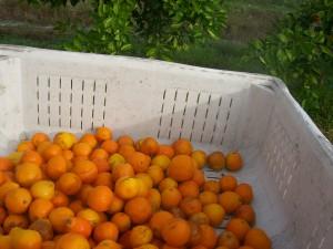 Our first Homegrown Honeybell harvest