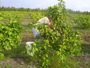 Monica Picking the first Homegrown Honeybells