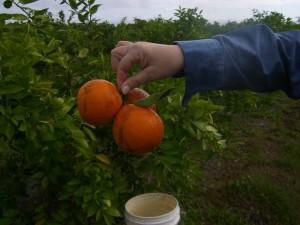 Picking the first Homegrown Honeybells
