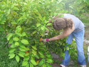 Becka Picking the first Homegrown Honeybells