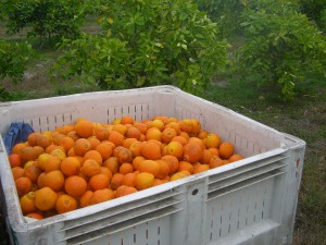 The bin is filling up with Honeybells