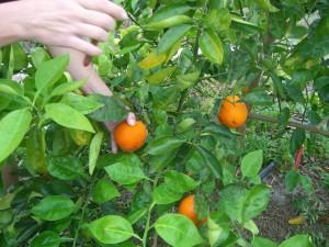 Homegrown Honeybells on the tree